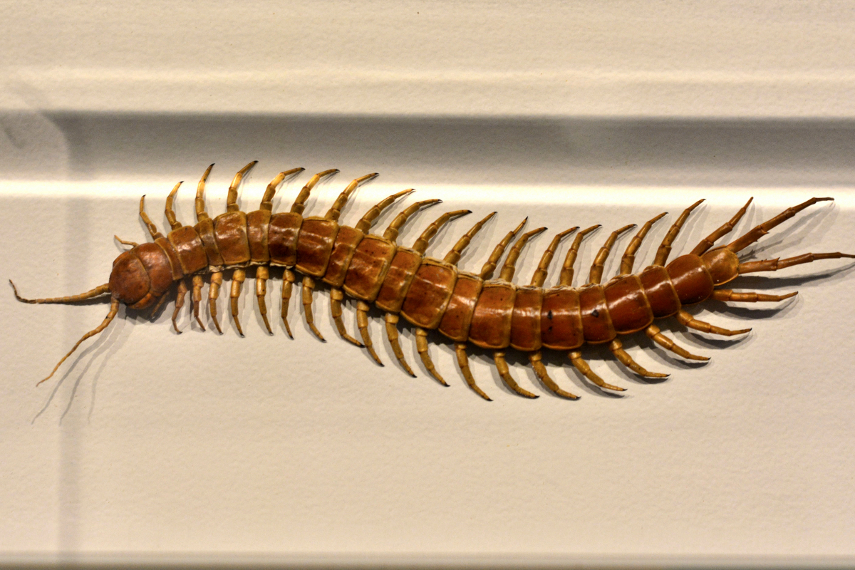 House Centipedes – What Are They?