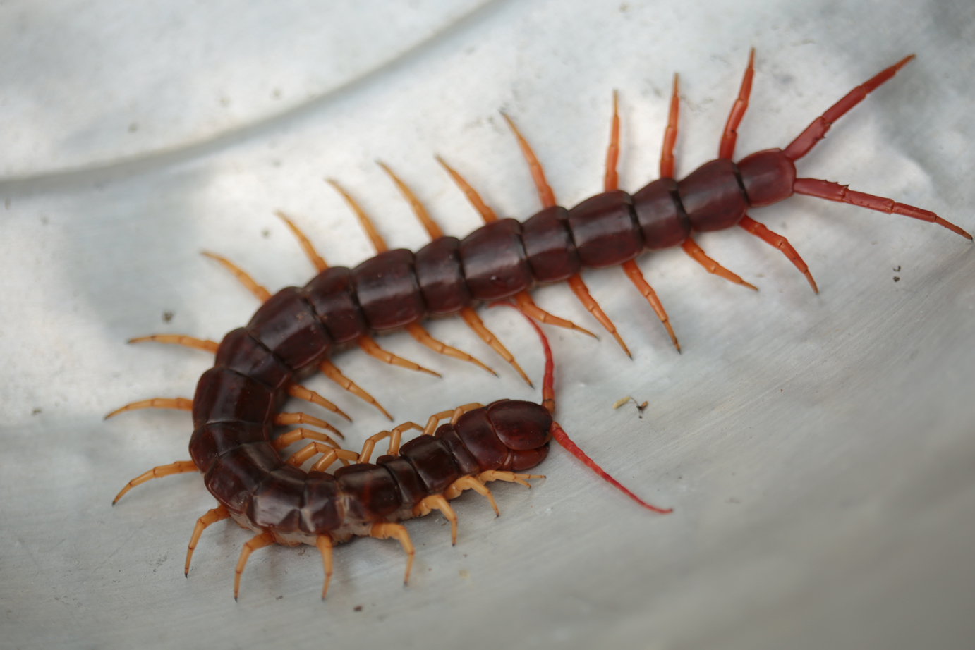 How to Exterminate Centipedes Fast